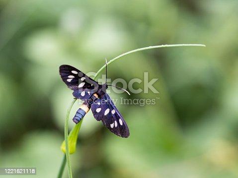 istock Nine-spotted moth or yellow belted burnet (Amata phegea) 1221621118
