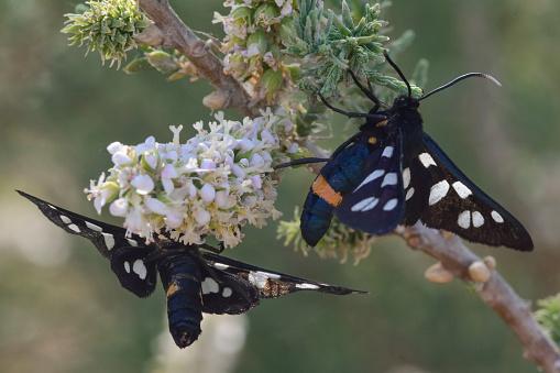 istock Nine-spotted moths (Amata phegea) nectaring 529068088