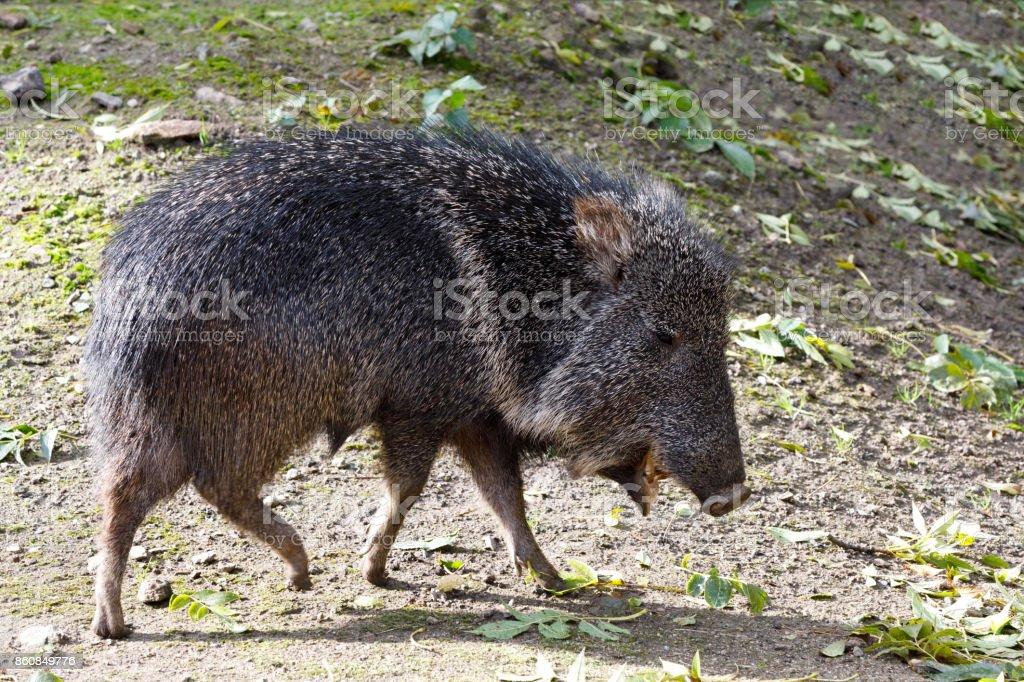 nise pig Chacoan peccary, Catagonus wagneri stock photo