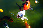 Nishiki koi (varicolored carp), which swims in a pond in a Japanese garden. White Fish opens its mouth awaing feeding