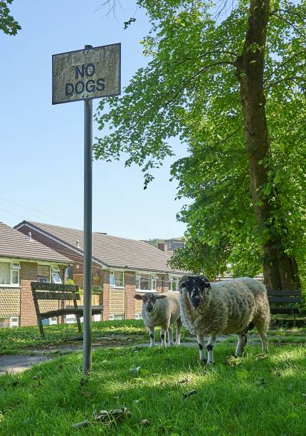 No Dogs - Sheep! A ram and a ewe facing camera, near a sign which reads 'NO DOGS'. discriminatory stock pictures, royalty-free photos & images