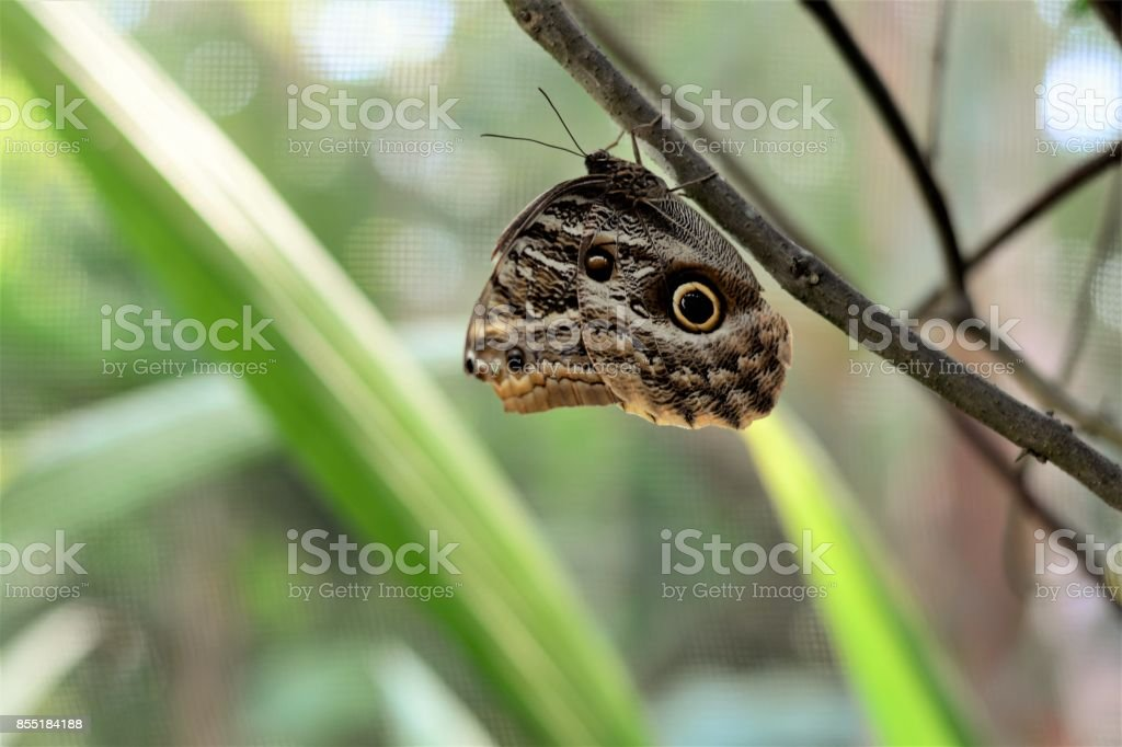 No galho uma borboleta Caligo descansando stock photo