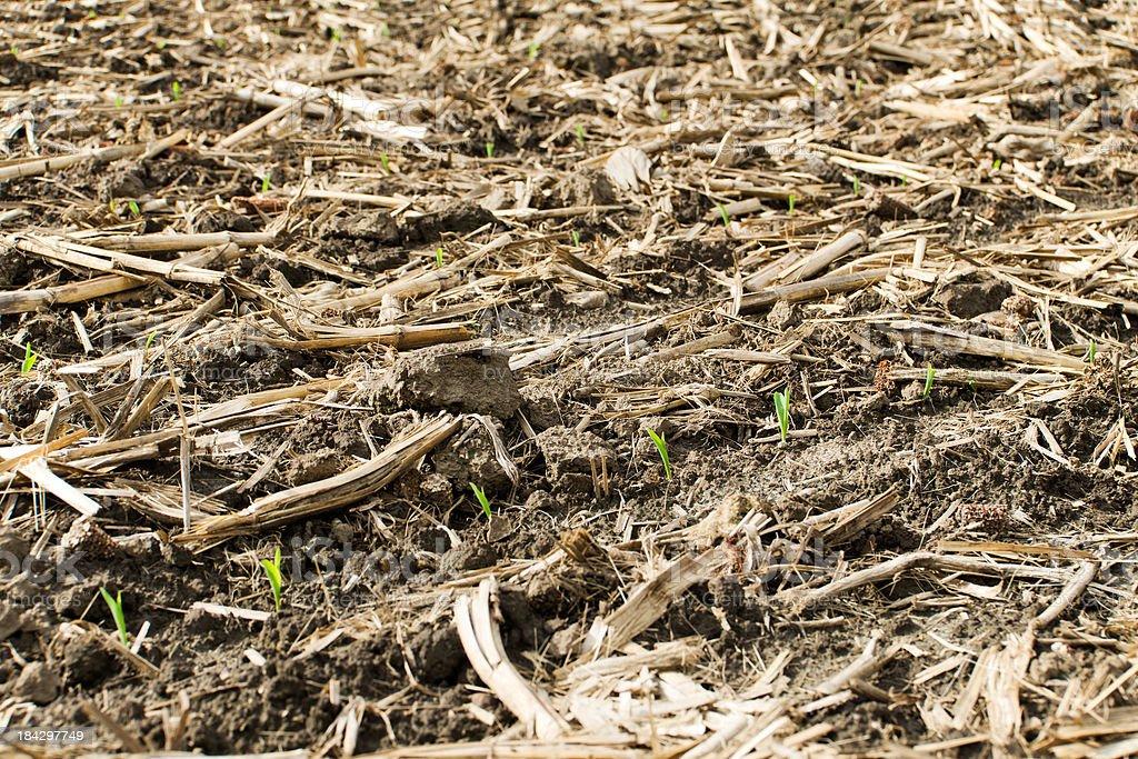 No Tillage Corn Field Background stock photo