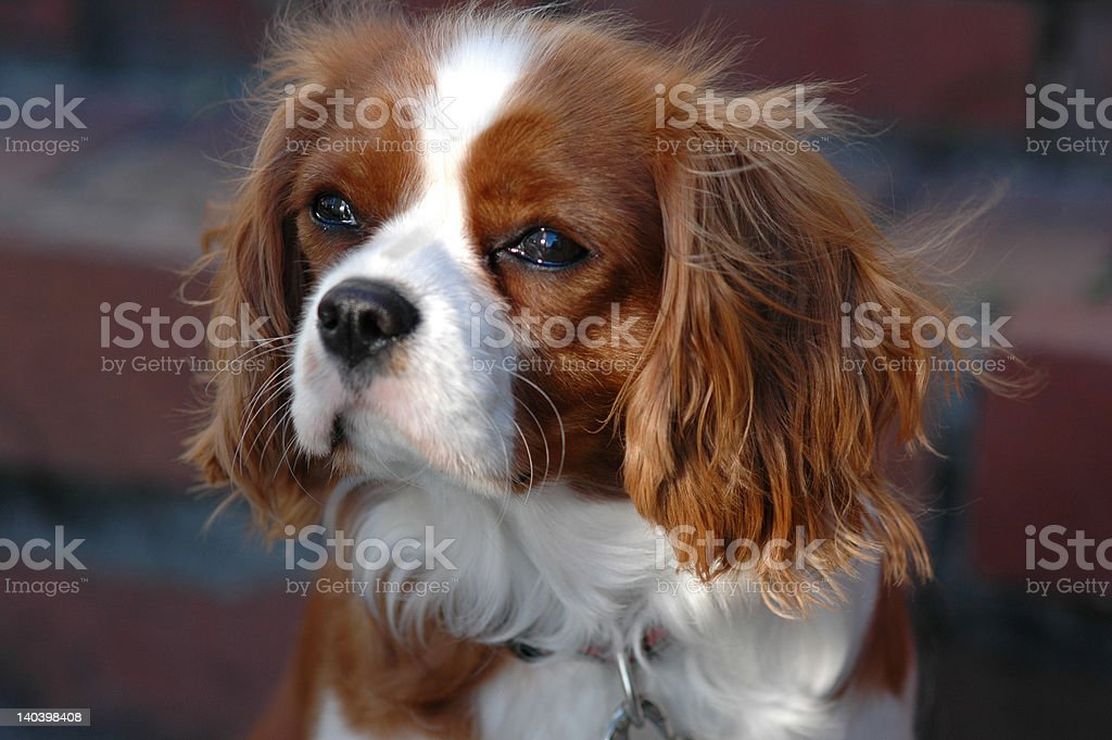 Noble Cavalier King Charles spaniel stock photo