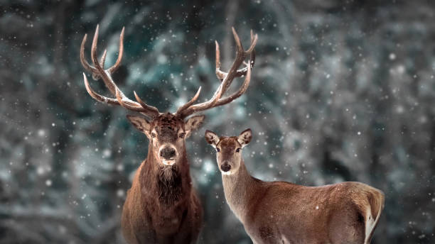Noble deer family in winter snow forest. Artistic winter christmas landscape. Winter wonderland. Noble deer family in winter snow forest. Artistic winter christmas landscape. Winter wonderland. red deer animal stock pictures, royalty-free photos & images