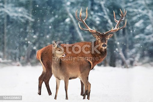 istock A noble deer male with female in the herd against the background of a beautiful winter snow forest. Artistic winter landscape. 1044035852