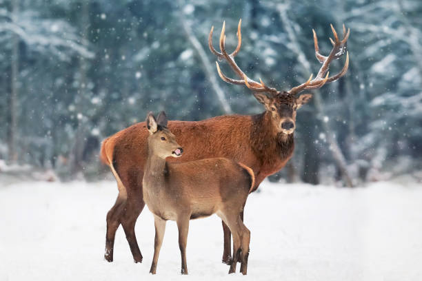 A noble deer male with female in the herd against the background of a beautiful winter snow forest. Artistic winter landscape. - foto stock