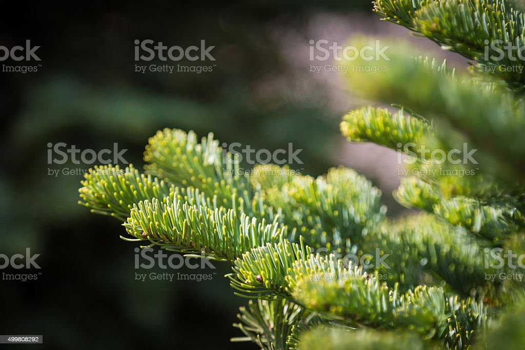 Noble Fir Christmas Tree Branches stock photo