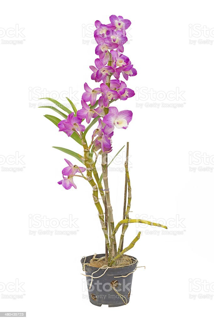 Nobile orchid stock photo