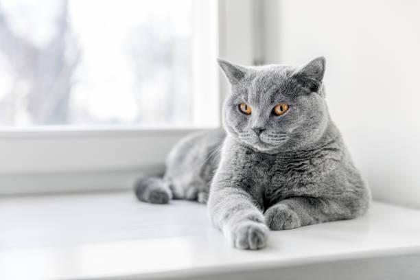 Noble fier chat couché sur le rebord de la fenêtre. Le British Shorthair - Photo
