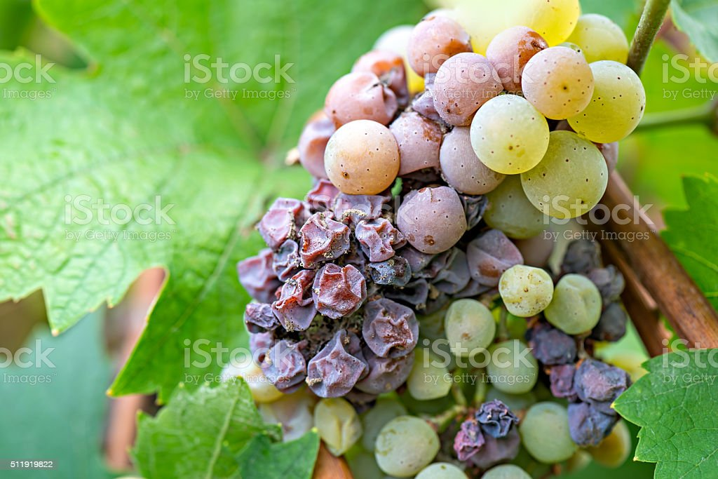 Noble rot of a wine grape, grapes with mold stock photo