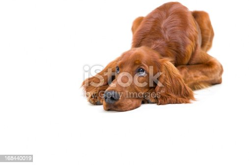 Pedigree Red Setter puppy lying down looking sad