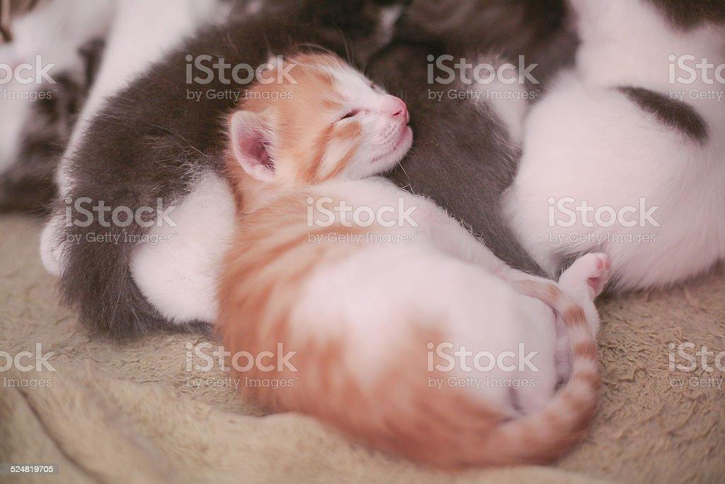 Nobody sleeps like Gingey stock photo