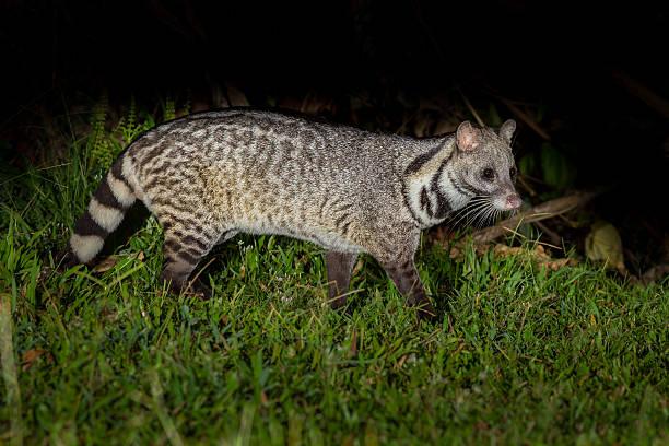 nocturno gran indian civeta de los animales - gato civeta fotografías e imágenes de stock