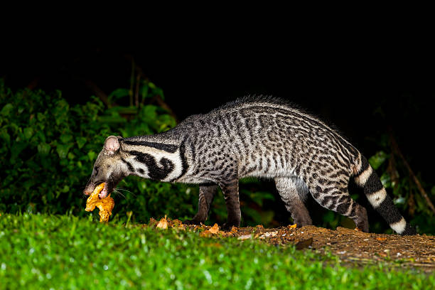animales viverra zibetha nocturno - gato civeta fotografías e imágenes de stock
