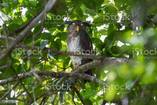 Photo of Nocturnal bird : adult Barred eagle-owl (Bubo sumatranus),