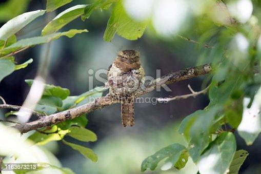 istock Nocturnal bird : adult female Blyth's frogmouth (Batrachostomus affinis) 1163673213