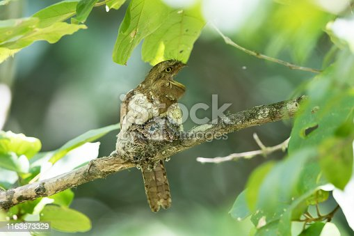 istock Nocturnal bird : adult female Blyth's frogmouth (Batrachostomus affinis) 1163673329