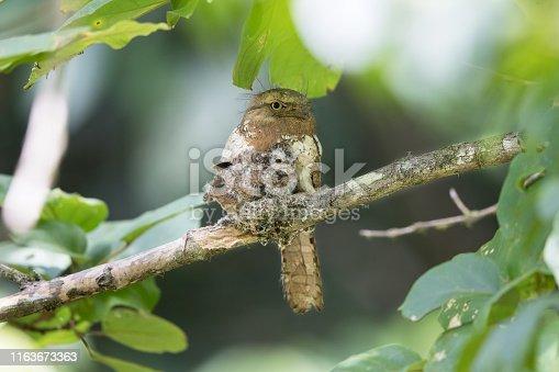 istock Nocturnal bird : adult female Blyth's frogmouth (Batrachostomus affinis) 1163673363