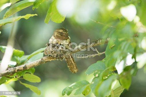 istock Nocturnal bird : adult female Blyth's frogmouth (Batrachostomus affinis) 1163673376
