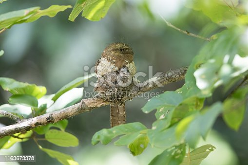 istock Nocturnal bird : adult female Blyth's frogmouth (Batrachostomus affinis) 1163673378