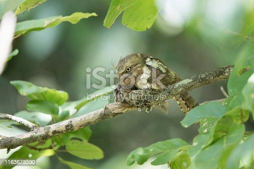 istock Nocturnal bird : adult female Blyth's frogmouth (Batrachostomus affinis) 1163673390