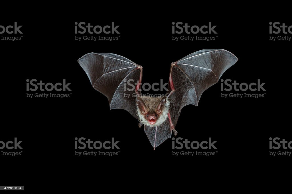 nocturnal flight of a bechstein´s bat A highspeed DSLR photo that shows a bechstein´s bat on its acrobatic flight through the black night. The mouth is wide opened using echolocation for orientation.  2015 Stock Photo