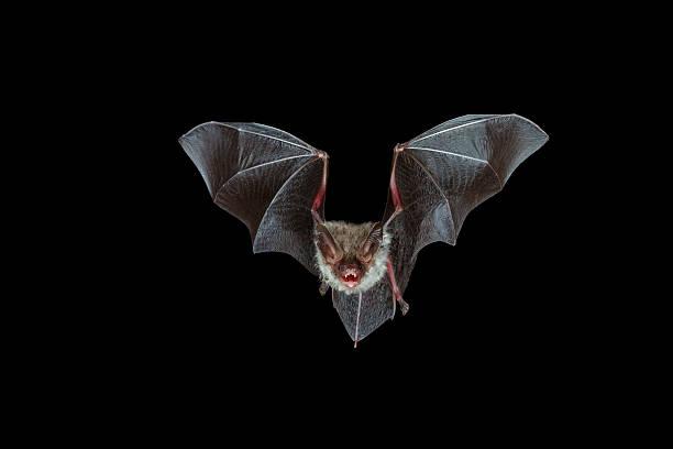 nocturnal flight of a bechstein´s bat stock photo