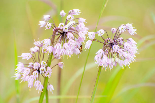 nodding pink onion, Allium cernuum stock photo