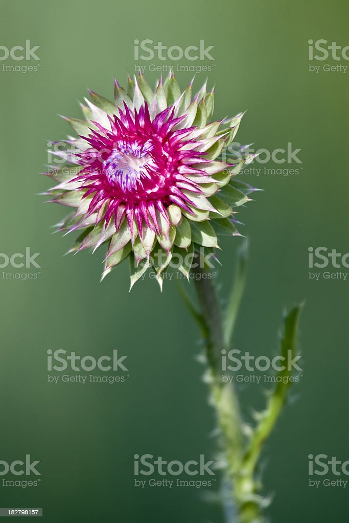Nodding Thistle Flower stock photo