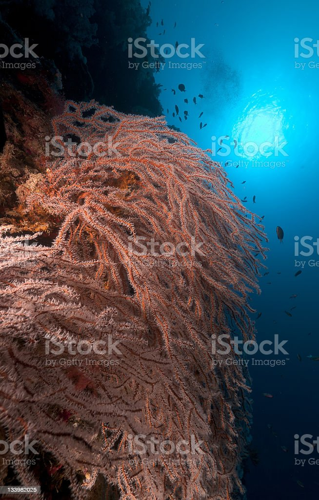 Noded horny coral in the Red Sea. royalty-free stock photo