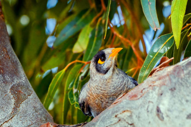 Noisy miner bird perched in the branches stock photo