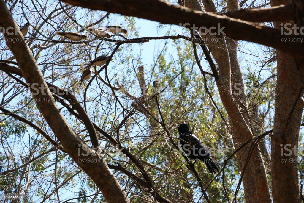 Noisy Miner birds gang-up on Crow - Zbiór zdjęć royalty-free (Australia)