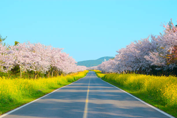 noksan road, rapeseed flower, cherry blossom, spring, - jeju island stock photos and pictures