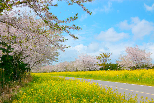 Noksan Road, Rapeseed Flower, Cherry Blossom, Spring, It is spring scenery of