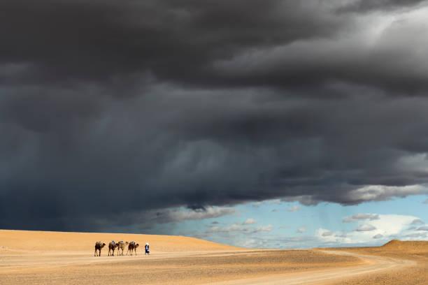 Nomad walks with four camels (dromedary) against dark rainy sky. stock photo