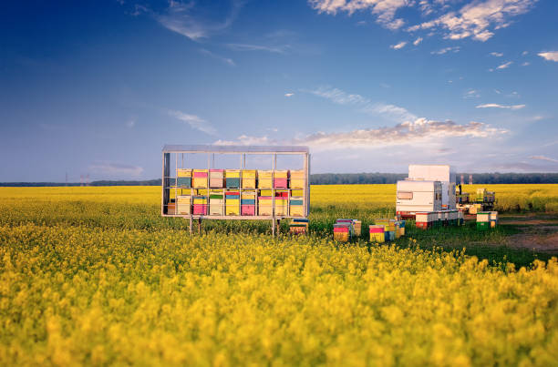 Nomadic Beekeepers. Colorful bee hives in rape field stock photo
