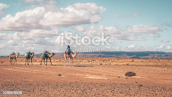 Sahara Desert, Morocco - October 24, 2015. Showing traditional desert transportation as a male camel rider wearing traditional nomadic clothing leads three dromedary camels along a dirt track.