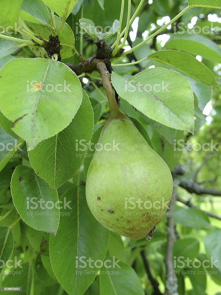 non ripe pear royalty-free stock photo