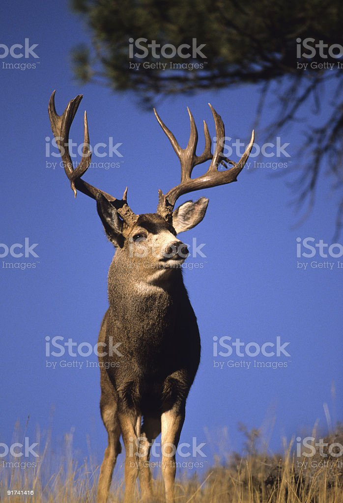 Non Typical Mulie royalty-free stock photo