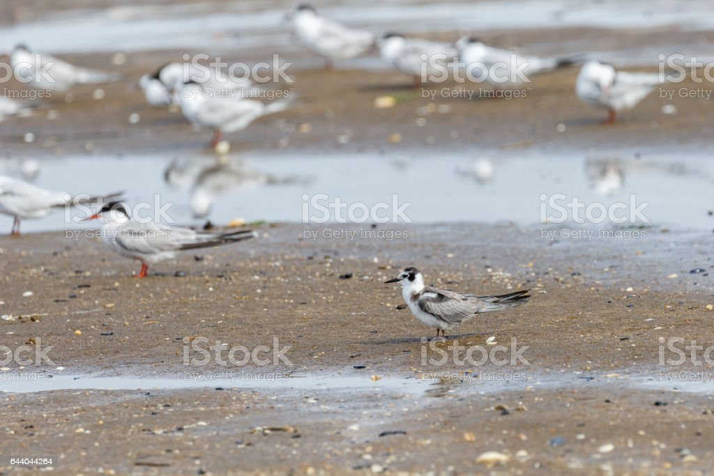 Non-breeding Plumaged Black Tern (Chlidonias niger) Among Other Terns stock photo