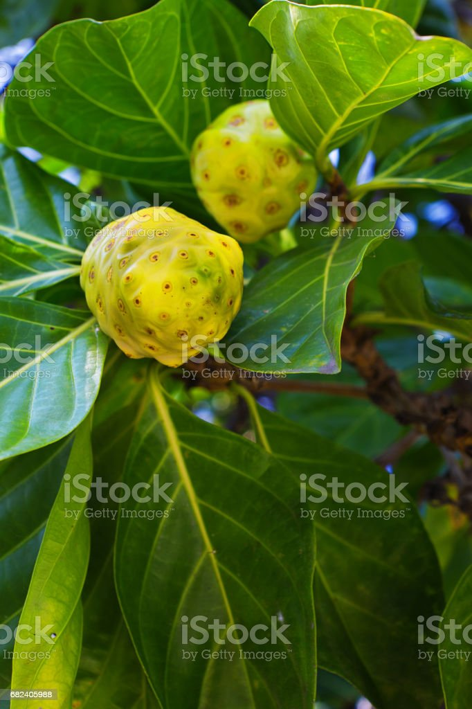 Noni Fruit, A Homeopathic Alternative Herbal Medicine royalty-free stock photo
