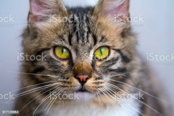 Nonpedigreed beautiful cat looks at the camera closeup portrait picture id977125884?b=1&k=6&m=977125884&s=612x612&h=yaqw06hosqmxrtizug9qyllkrymb0b5om0onpgipmrg=