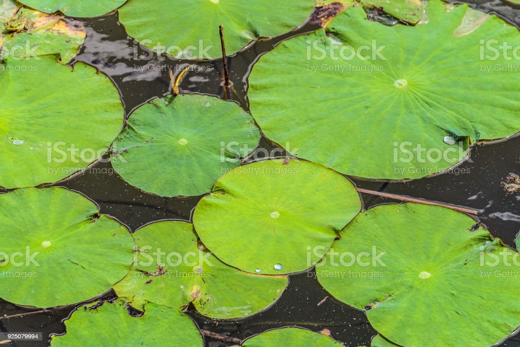 Non-wetted green leaves of wild Lotus on the water surface of the lake stock photo
