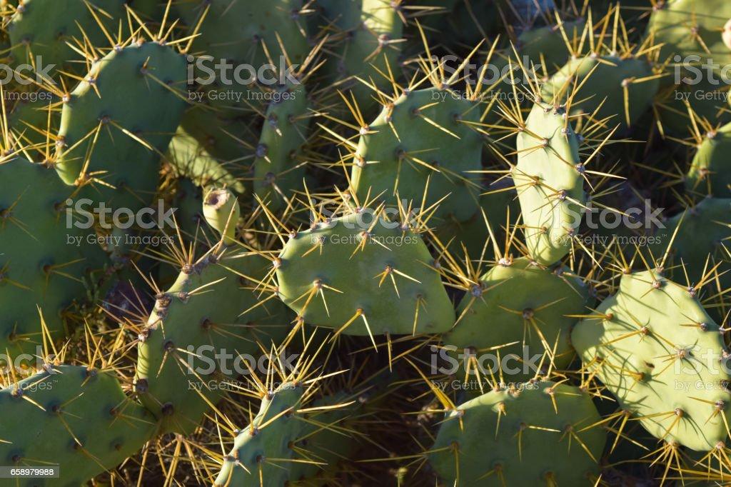 Nopal plant. Djerba island. Tunisia royalty-free stock photo
