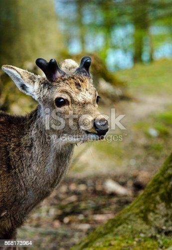 istock Nordic Deer in Scandinavian forest, closeup 868173964