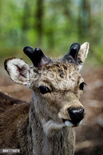 istock Nordic Deer in Scandinavian forest, closeup 868173976
