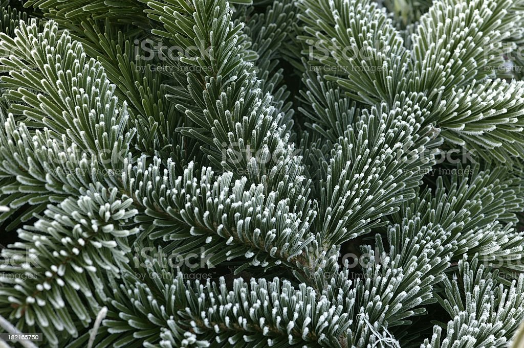Nordmann Fir foliage with frost royalty-free stock photo