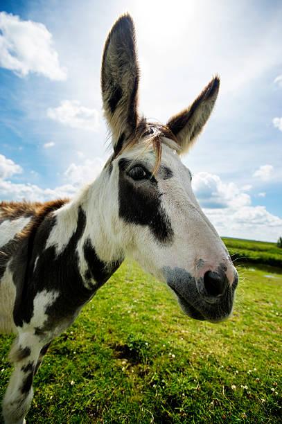 Norfolk Broads, Donkey side ciew close up stock photo