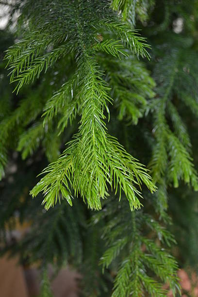 Norfolk Island Pine Branch with new growth. stock photo